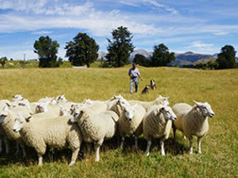 Christchurch Cruise Excursion - Sightseeing with Sheep Farm